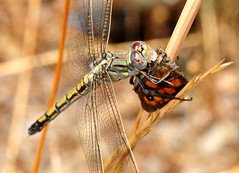 DSC_8093 (beeater) Tags: stuartharrisphotography macrophotography macronature macroworld insects insectsandspiders dragonflies dragonfly dragonfliesofaustralia