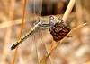 DSC_8093 (beeater) Tags: stuartharrisphotography macrophotography macronature macroworld insects insectsandspiders dragonflies dragonfly dragonfliesofaustralia