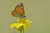 Girlpower.... (nyanc) Tags: smallcopper lycaenaphlaeas nikon nature natuur netherlands nederland beautiful beauty color colorful close d5200 europe europa flickr flower insect kleur limburg outdoor outside prime sigma summer travel vleugels vlinder wildlife wings zomer