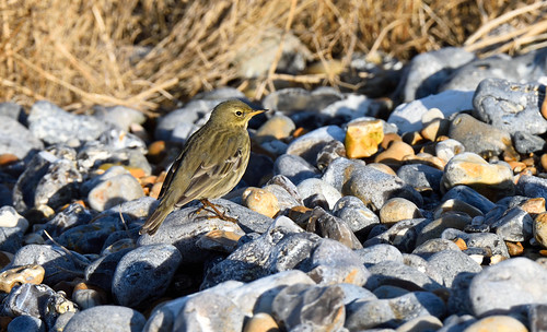 Rock Pipit...Living up to its name