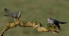Cuckoo, Cuckoo (MOZBOZ1) Tags: