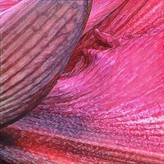 Amaryllis (Renee Rendler-Kaplan) Tags: greenhouse red bloom blooming blossom flower plant sturdy nature beautifulmothernature indoors inside chicagobotanicgarden northshore glencoeillinois macro handheld iphone iphoneography bud petals november 2016 reneerendlerkaplan chicagoist chicagoreader wbez consumerist botanicgarden amaryllis miracleamaryllis hippeastrummiracle