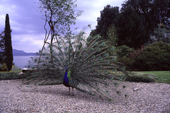 the peacock does the wheel... (quarzonero ...Aldo A...) Tags: peacock pavone weel slide sunrays5 coth coth5