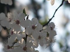 2007_04_01__141315 (kwiecien03c) Tags: spring april wiosna kwiecie srem rem