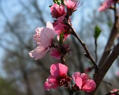 Peach 10