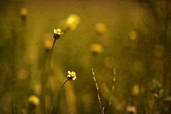 Stand still, look pretty (kktp_) Tags: flowers flower nature d50 nikon bravo searchthebest bokeh nikkor 85mmf14d primelens magicdonkey  abigfave impressedbeauty superbmasterpiece