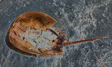 hscrab