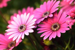 ms flores de mi jardn (briveira) Tags: flower primavera garden spring flor jardin mio jardn briveiracom
