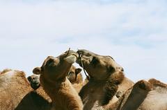 Kissing Camels, Gobi Desert (sibling) Tags: mongolia camels