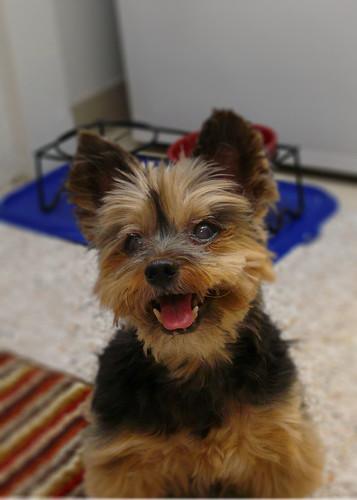 akc toy poodles  haircuts