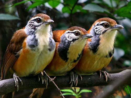 A Trio Of Laughingthrush