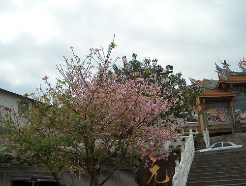 都將近四月底了,還看到一株盛開的櫻花樹(按我看大圖)