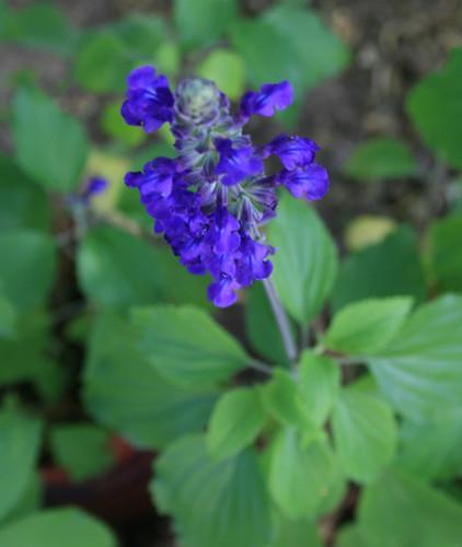 Salvia - Mystic Blue Spires