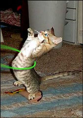 Cat Hula Hooping