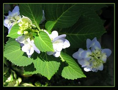 Crowding buds and flowers of Blue Hydrangea