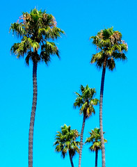 Palms Family  (~ Seba ~) Tags: chile family summer sky green familia palms island spider palmeras 101 verano seba sebastin naturesfinest viadelmar artedechile artechileno impressedbeauty fotografachilena fotgrafoschilenos