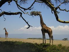 Giraffe (Robinofthehood) Tags: africa blue wild summer tree grass animals clouds kenya eating tail safari longneck giraffe serengeti grassland outofafrica savanna masaimara bfgreatesthits