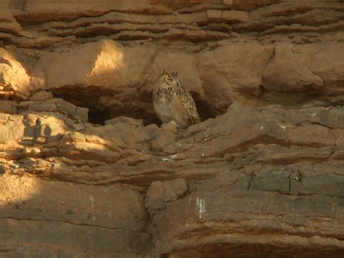Desert Eagle Owl (Bubo ascalaphus)