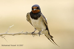 Swallow (dawey [Mohammad Alhameed]) Tags: red bird nature birds canon raw iso400 wildlife kuwait usm  f8 ef mohammad eos20d mohanad rawfile voluntary 400mm  yousef mohamad jahra picturecollection vwc flickrsbest   canonef40056l kuwaitwildlife canon400mm conon20d dawey lens400mm  kuwaitvoluntaryworkcenter  photovwc kuwaitvwc