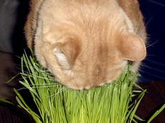 Ahhh Grass! (Spenser.Cat) Tags: orange male cat kat funny chat tabby patrick s gato neko kata katze  biss gatto katzen gatti kot mau  chen katz kass kath koshka  topv200 wheatgrass katt miu kissa ket moggy gati paka gatz catta katti   felineart mait nom kitte pisica topv300  lolcat chatul kots cc500 catua bestofcats qit gattus kottur besseh katjie hirrah qitah mo 19962009 rippatrick patrickpassedaway062709 patrickpassedin2009