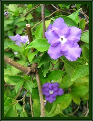 Blooms of Brunfelsia pauciflora / B.calycina (Yesterday-today-tomorrow), a week after prunning