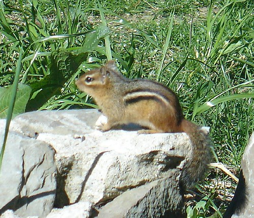 Chipmunk at the bird feeder in our cottage garden