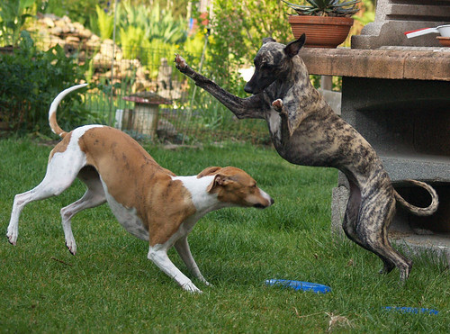 Whippets, Nisha and Tiger