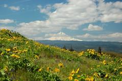 Mt. Hood (Just Peachy!) Tags: oregon hiking mthood wildflowers columbiarivergorge natureconservancy rowenacrest rowenaplateau tommccallpreserve mccallpoint