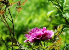 Peony (LN Ellen) Tags: pink flower macro bc britishcolumbia okanagan interior peony ln naturesfinest imagepoetry pinkpeony summerlandornamentalgarden