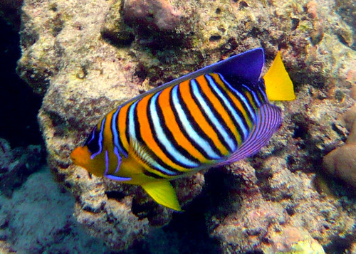 Royal Angelfish on Similan Islands
