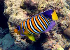 Royal Angelfish on Similan Islands, Thailand (_takau99) Tags: ocean trip travel sea vacation holiday fish beach uw nature topf25 water topv111 coral topv2222 thailand island lumix islands topv555 topv333 marine asia southeastasia honeymoon underwater wildlife indian topv1111 topv999 indianocean topv444 dive scuba diving topv222 panasonic snorkeling topv5555 thai tropical april scubadiving topv777 phuket topv3333 topv4444 topv666 angelfish topf10 topf15 similan khaolak 2007 andaman andamansea topv888 honeymoonbay similanislands topf5 topf20 fx30 similanisland 123nature takau99 royalangelfish edive reagalangelfish dmcfx30 lumixfx30 haneymoonbay honeymoonbaybeach