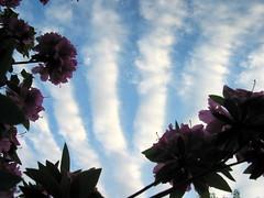 fingers in the sky with azaleas