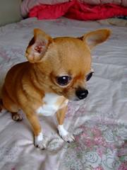 33 (San-san) (Chrischang) Tags: dog pet chihuahua animal 33