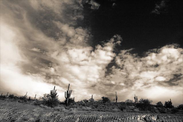 Roadside Saguaro Cactus, Arizona