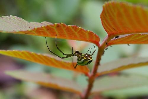 IMGP9491_好胖的蜘蛛