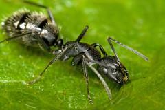 Ants at 2.6x life size series 1-1 (Dalantech) Tags: macro nature canon insect ant 100mm xti 400d dalantech johnkimbler