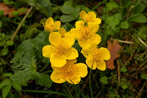 Varsakabi, Caltha palustris