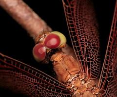 Dragonfly @60mm (*Damselfly*) Tags: macro bug insect dragonfly 60mm sbg 30d blueribbonwinner compoundeyes interestingness25 i500 canonefs60mmf28macrousm anawesomeshot