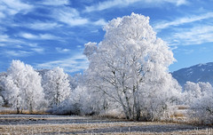 the willows in winter (gregor H) Tags: winter cold color ice nature beautiful weather fog season spectacular landscape outside outdoors austria landscapes frozen frost quiet view natural outdoor hoarfrost country extreme smooth scenic freezing peaceful tranquility frosty calm clean clear velvia silence freeze daytime serene icy rime wintertime pure idyllic tranquil scenics placid icecrystals peacefulness calmness quietness hoar phenomenon phenomena coldness wintry willowtrees vorarlberg whitetrees frosts rimeice nikonf4s koblacherried coveredwithfrost whitewillows sunshineonfrost hoarfrosts