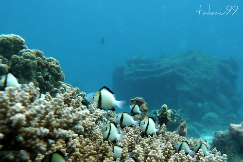 School of Indian Dascyllus at Similan Islands, Thailand