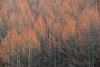 conifers (daniel0027) Tags: wintertrees fadedcolor conifer conifers needleleaftree faded verticality
