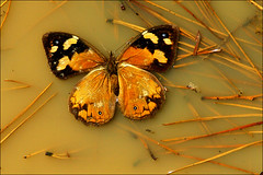 Grounded (Leenda K) Tags: orange butterfly haiku mudpuddle fineartphotos leendak