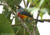 Toucan Barbet (Michael Woodruff) Tags: bird southamerica birds toucan ecuador birding barbet semnornis toucanbarbet semnornisramphastinus nwecuador oldnonomindord nonomindo