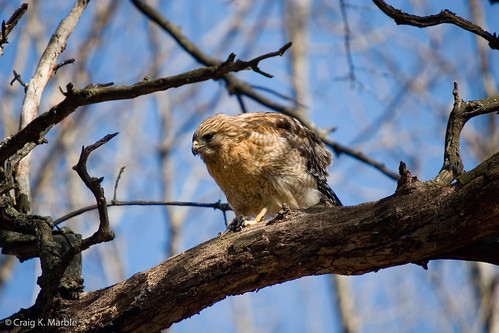 Red Shouldered Hawk with rodent(2)