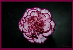 Carnation 2/ Anjer 2. (Margot) Tags: flower spring seasons carnation excellence anjer blueribbonwinner margotpouw margot