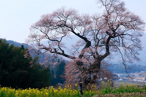 Yougai Sakura
