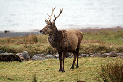 Young Stag (robbyuk/) Tags: uk mountain nature water animal fauna canon river landscape scotland waterfall highlands scenery stag ben wildlife north scene farmland glen deer burn glencoe loch grassland picturesque hdr inverness fortwilliam robroy nevis moorland wildanimals beutiful burnley lochy davidrobinson scottishhighlands ldr linnhe locharkaig arcaig fortwilliamscotlandscottishhighlandsglen rivercaig robbyuk