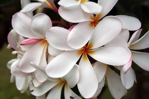 Plumeria by ewen and donabel, on Flickr