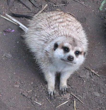 begging mongoose