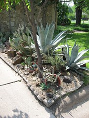 xeriscape (Aka Hige) Tags: cactus plants plant planta gardens plante garden botanical plantas texas pflanze pflanzen jardin neighborhood jardim botanico xeriscape botanic agave botany piante botanique garten denton yucca bluebonnets botanica plantes giardino jardín pianta botánico botanik 庭園 xeriscaping botanisch